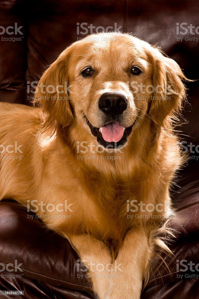 Golden Retriever on sofa royalty-free stock photo