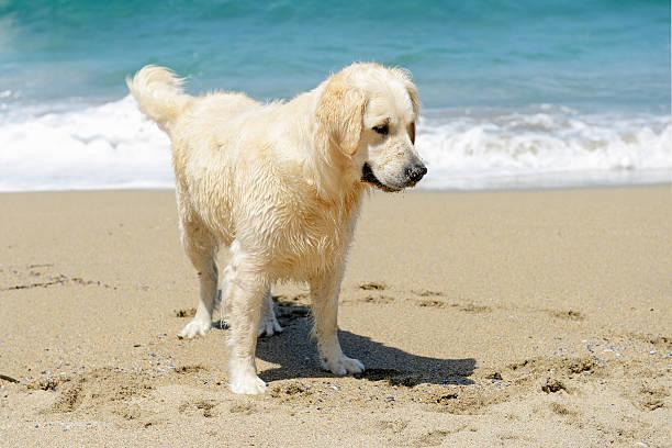 Golden retriever sulla spiaggia - foto stock