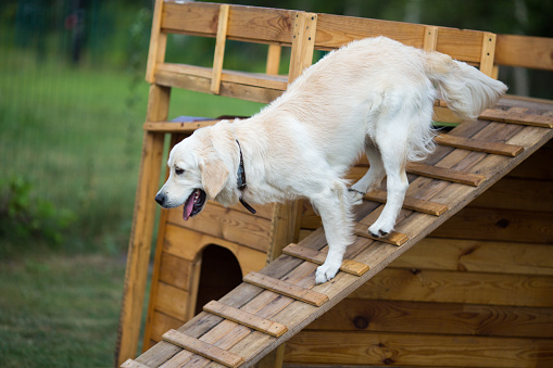 Golden Retriever on the playground, training on wood stairs or ramp
