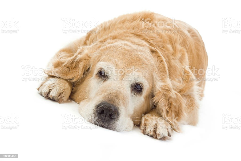 Golden retriever on white background stock photo