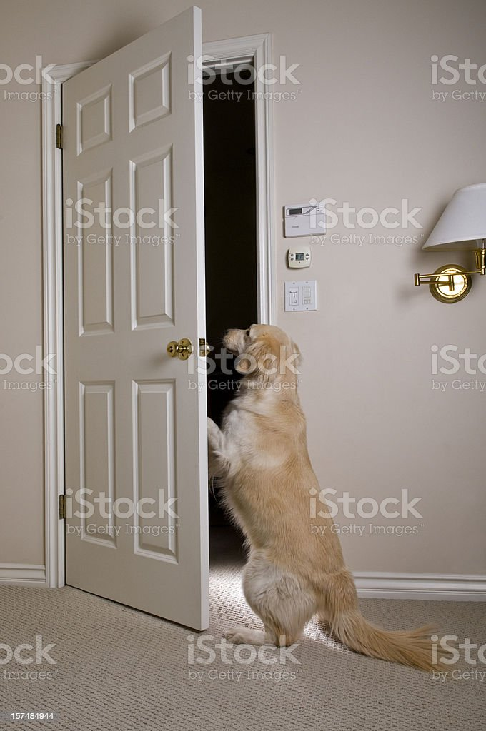 Golden Retriever Opening Door stock photo
