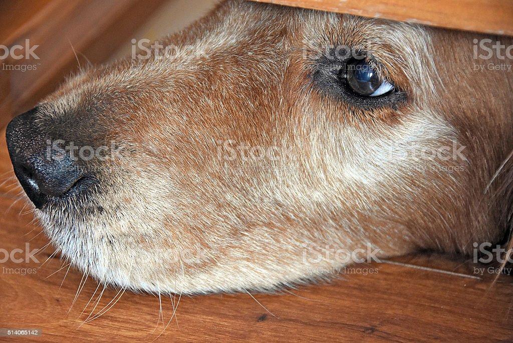 golden retriever peeking under door stock photo