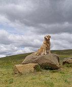 Golden retriever perched on hillside