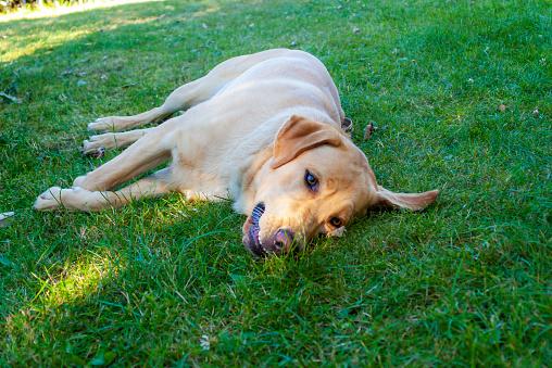 Portrait of a Golden Retriever resting on grass