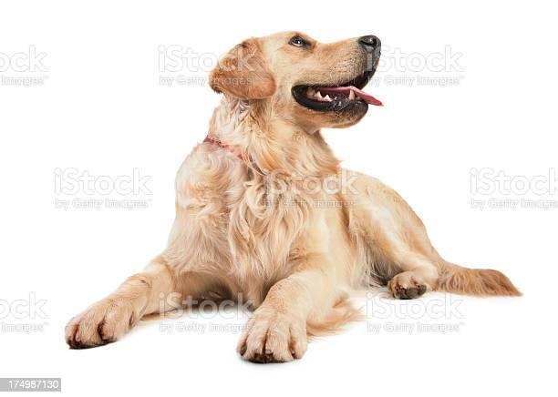 Golden retriever picture id174987130?b=1&k=6&m=174987130&s=612x612&h=b f9ftcb834qj9j93pwo7wz9fotlxnm2ahcjqsb88ky=