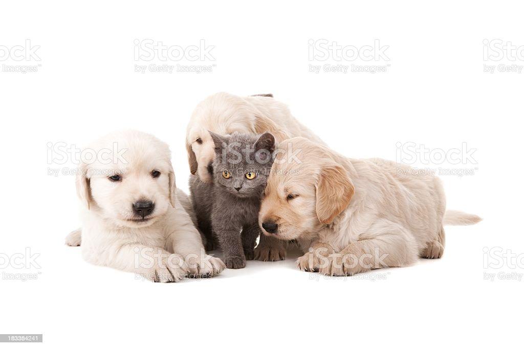 Labrador dorado - foto de stock