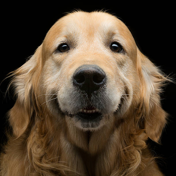 Golden retriever – zdjęcie