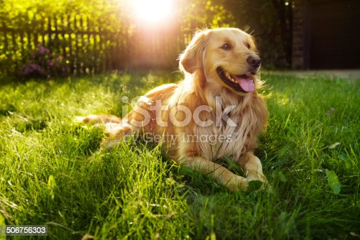 Golden retriever backlit