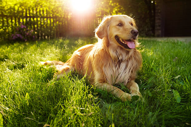 Golden Retriever Golden retriever backlit retriever stock pictures, royalty-free photos & images