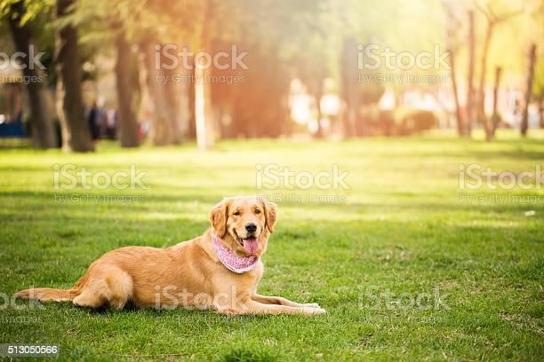 Golden retriever picture id513050566?b=1&k=6&m=513050566&s=612x612&h=gcv7z526ffa1zcuhx7f62jfuysrdhnngrfopazlrvbo=