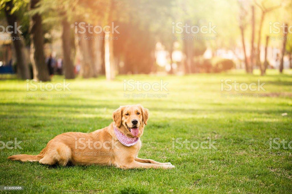 Golden Retriever foto