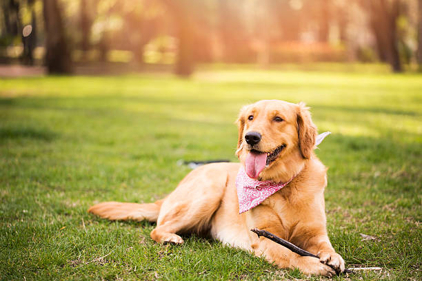Golden Retriever Golden Retriever retriever stock pictures, royalty-free photos & images