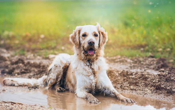 golden retriever - mud stock photos and pictures