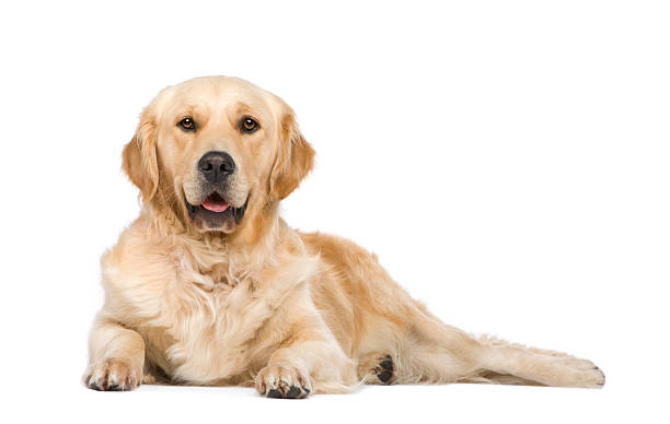 Golden Retriever (2 years) Golden Retriever (2 years) in front of a white background. retriever stock pictures, royalty-free photos & images