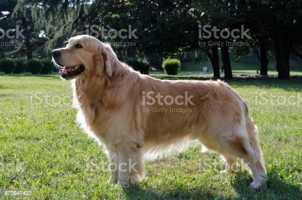 Golden retriever picture id972647422?b=1&k=6&m=972647422&s=612x612&h=waibsp1hlr4sxwkghbefmqaq99cp5cbv1tfv2avxvoy=