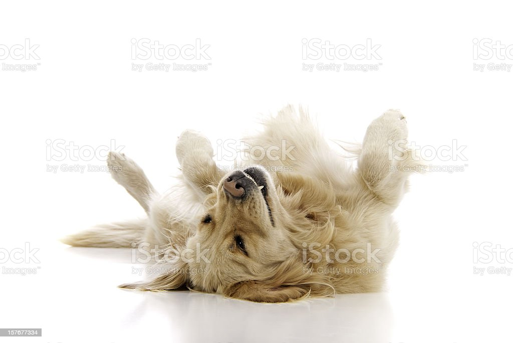 Golden retriever playing dead on a white background stock photo