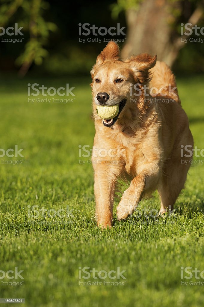 Golden Retriever playing Fetch royalty-free stock photo