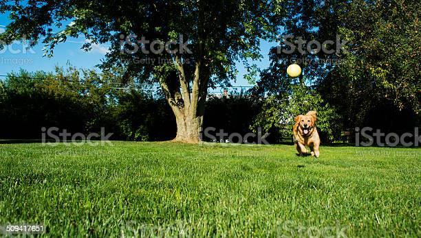 Golden retriever playing fetch picture id509417651?b=1&k=6&m=509417651&s=612x612&h=y6gd9szlxjrrdn n ymb7qaqohxtolfgiuomzf9hhro=