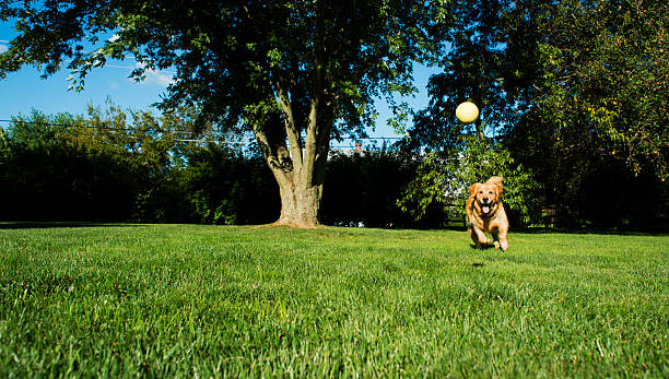 Golden Retriever playing Fetch