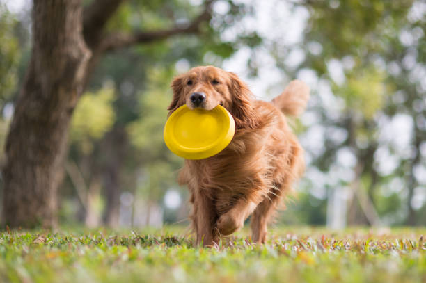 Golden retriever playing frisbee in the meadow picture id1063685332?b=1&k=6&m=1063685332&s=612x612&w=0&h=n5jkbdmnb24mvq5zzkacsaqksk10 zptdhp4 w4x9nm=