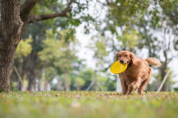 Retriever dourado jogando Frisbee no Prado - foto de acervo