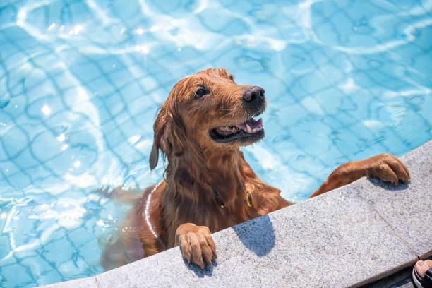 Golden retriever playing in the pool – zdjęcie