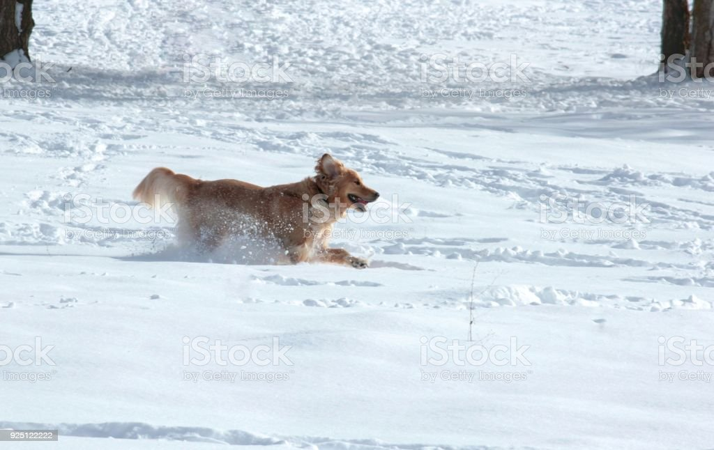 Golden Retriever Playing in the Snow stock photo