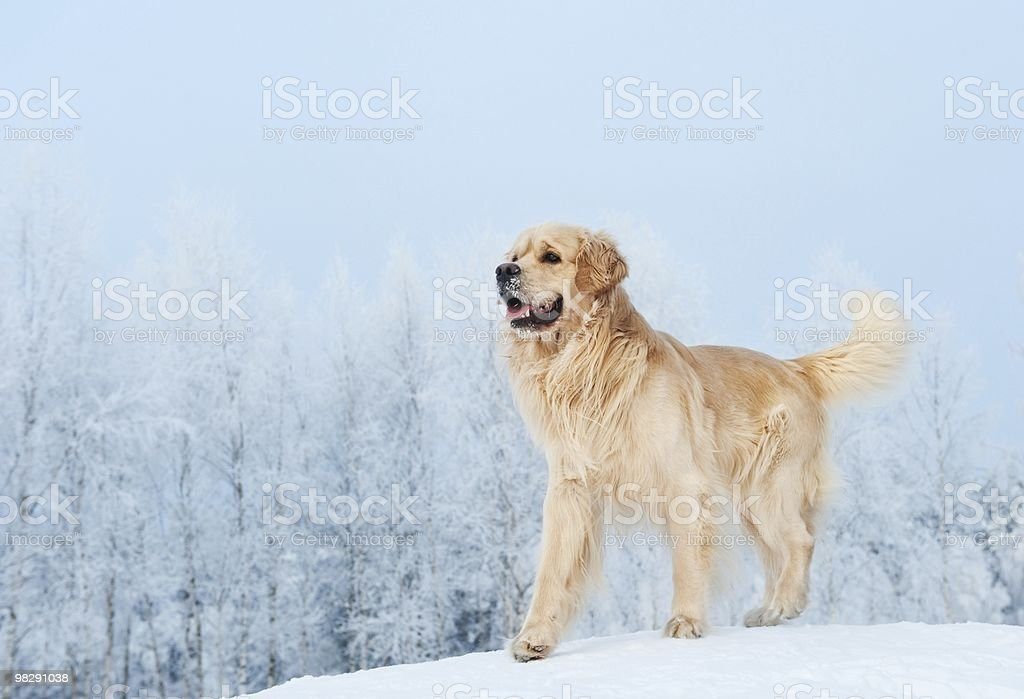 Golden retriever playing in the snow royalty-free stock photo