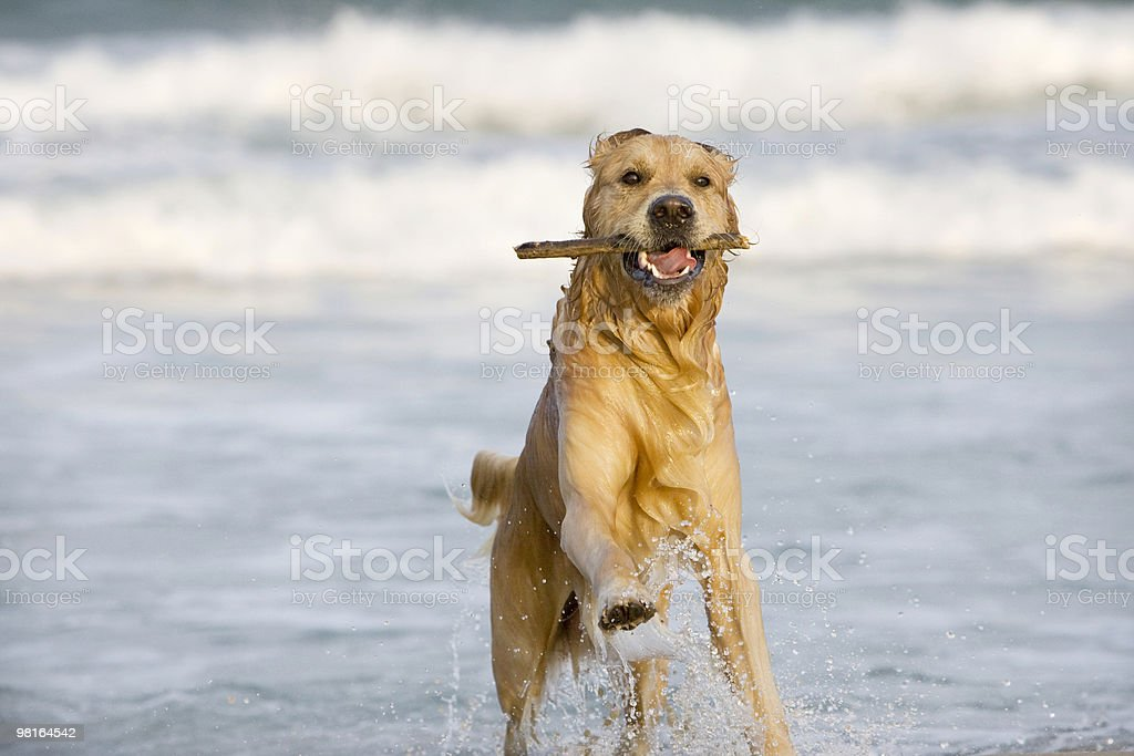 Golden Retriever playing on the beach royalty-free stock photo