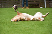 Golden retriever playing with dog run