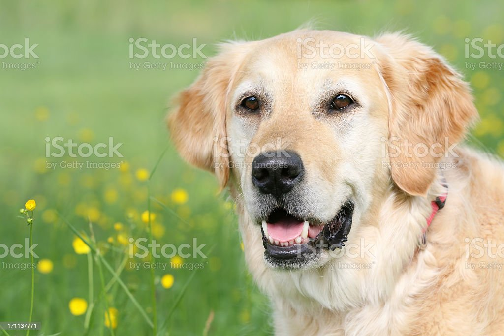 Golden Retriever Portrait royalty-free stock photo