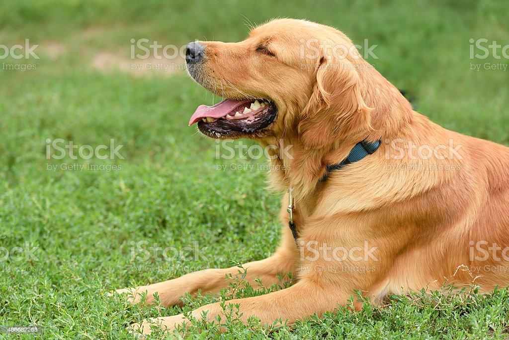 Golden retriever portrait stock photo