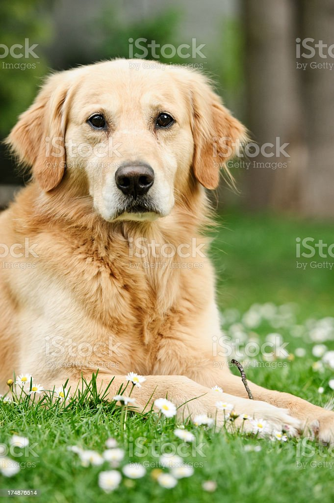 Golden retriever posing royalty-free stock photo