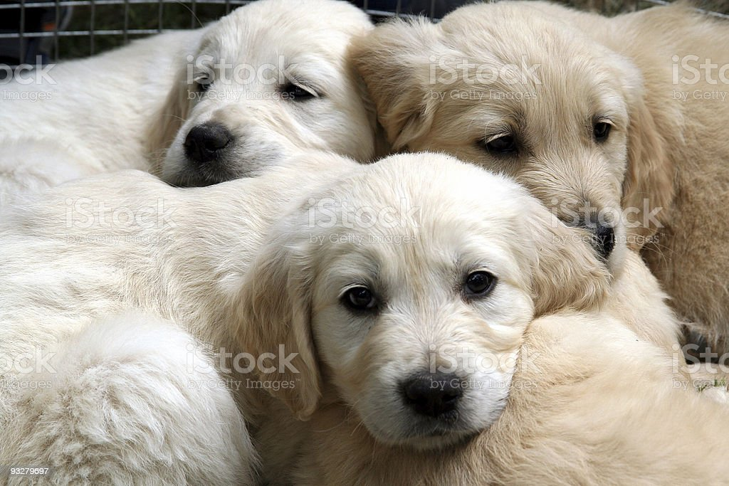 Golden retriever puppies lying together cuddled up royalty-free stock photo