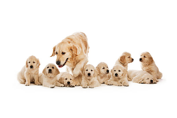 Golden retriever puppies stock photo