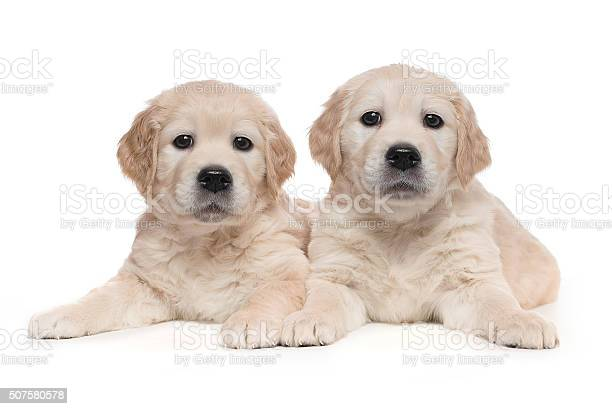 Golden retriever puppies picture id507580578?b=1&k=6&m=507580578&s=612x612&h=pvvcc46ow7  tf0qzyobv9zaerpxvafrlclsps3opvs=