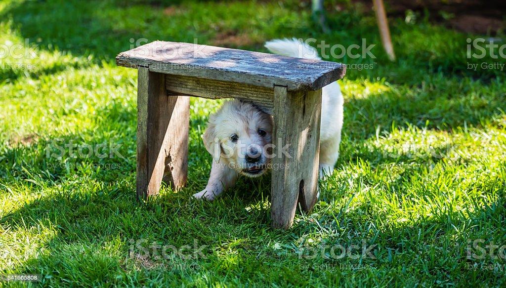 Golden Retriever Puppy 1 Month Old Under Bench Stock Photo More