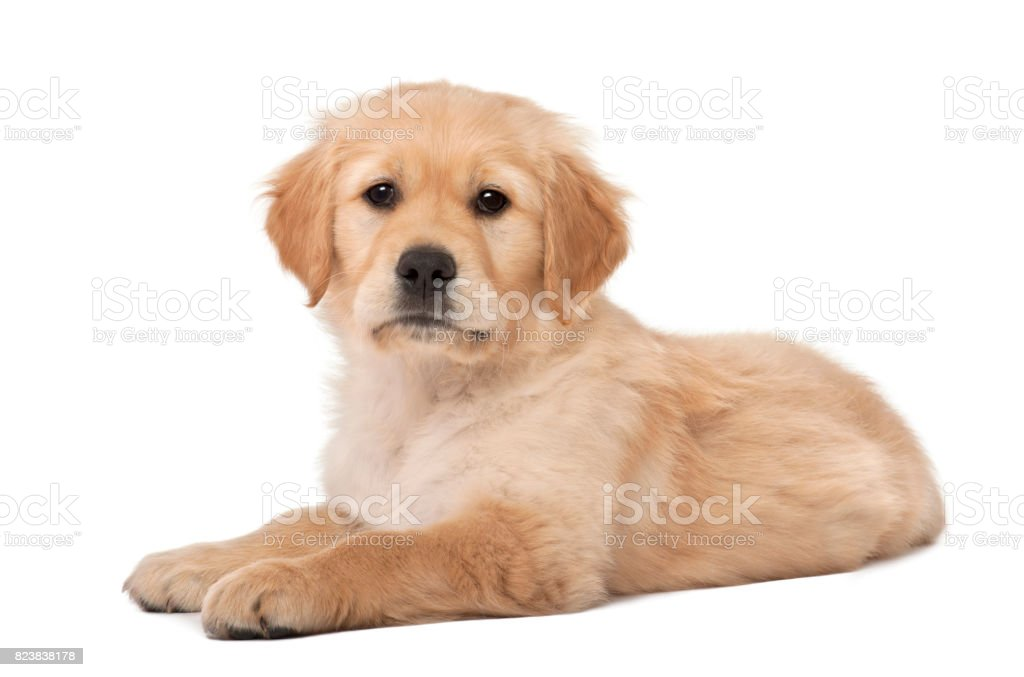 Golden Retriever puppy, 2 months old, lying against white background stock photo