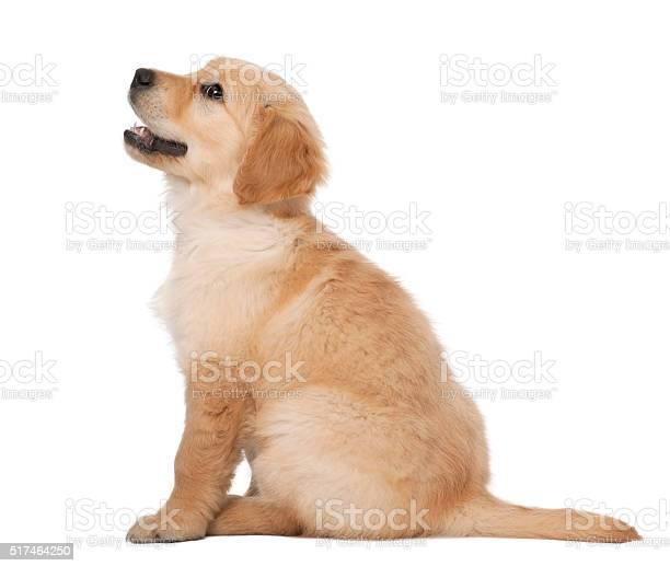 Golden retriever puppy 2 months old sitting against white background picture id517464250?b=1&k=6&m=517464250&s=612x612&h=rvp r zq7e mo5 nqgne2nvrkbucg6lmnjjsylcfp5q=