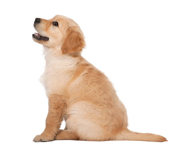 Golden retriever puppy 2 months old sitting against white background picture id517464250?b=1&k=6&m=517464250&s=612x612&w=0&h=b5edfbq6wxbepr2k5nui1knv7 t3umwl7gv1oq2kb 0=