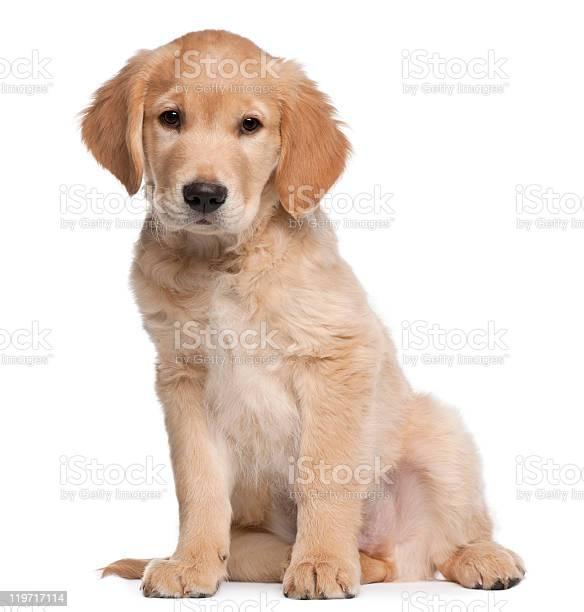 Golden retriever puppy 2 months old sitting white background picture id119717114?b=1&k=6&m=119717114&s=612x612&h=dydkb2ob7rmvaf4vhr5h6l bdr7qieopdcwc0s8u31q=