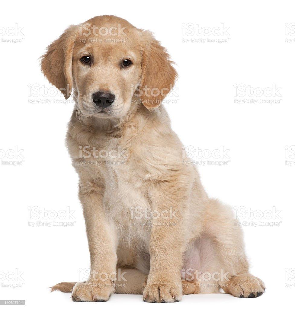Golden Retriever puppy, 2 months old, sitting, white background stock photo