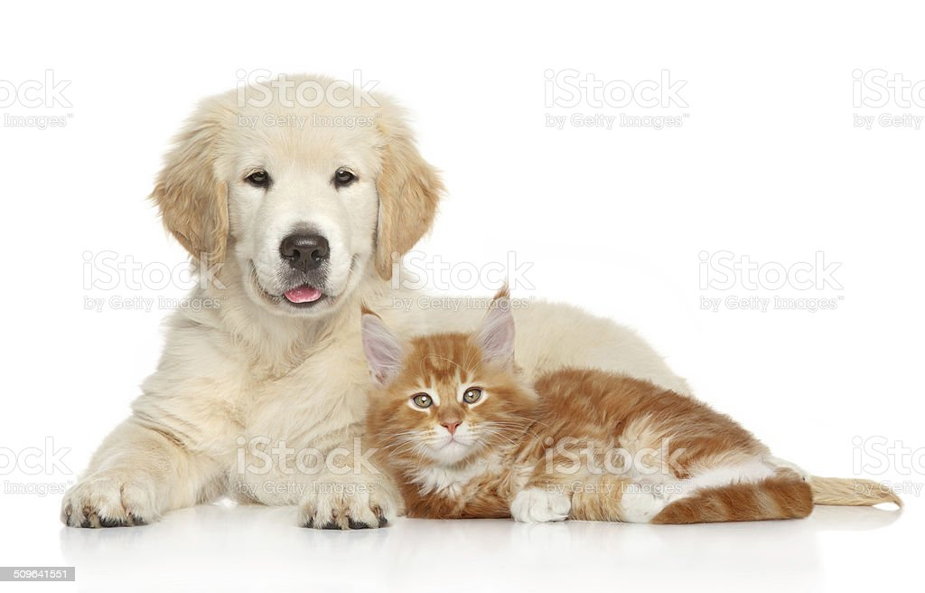 Golden Retriever puppy and ginger kitten Golden Retriever puppy and kitten posing on white background. Cat and dog series Animal Stock Photo