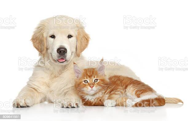 Golden retriever puppy and ginger kitten picture id509641551?b=1&k=6&m=509641551&s=612x612&h=d4l1flkcacs3dozikoh15iff4qonsdyko8lbih ocf0=