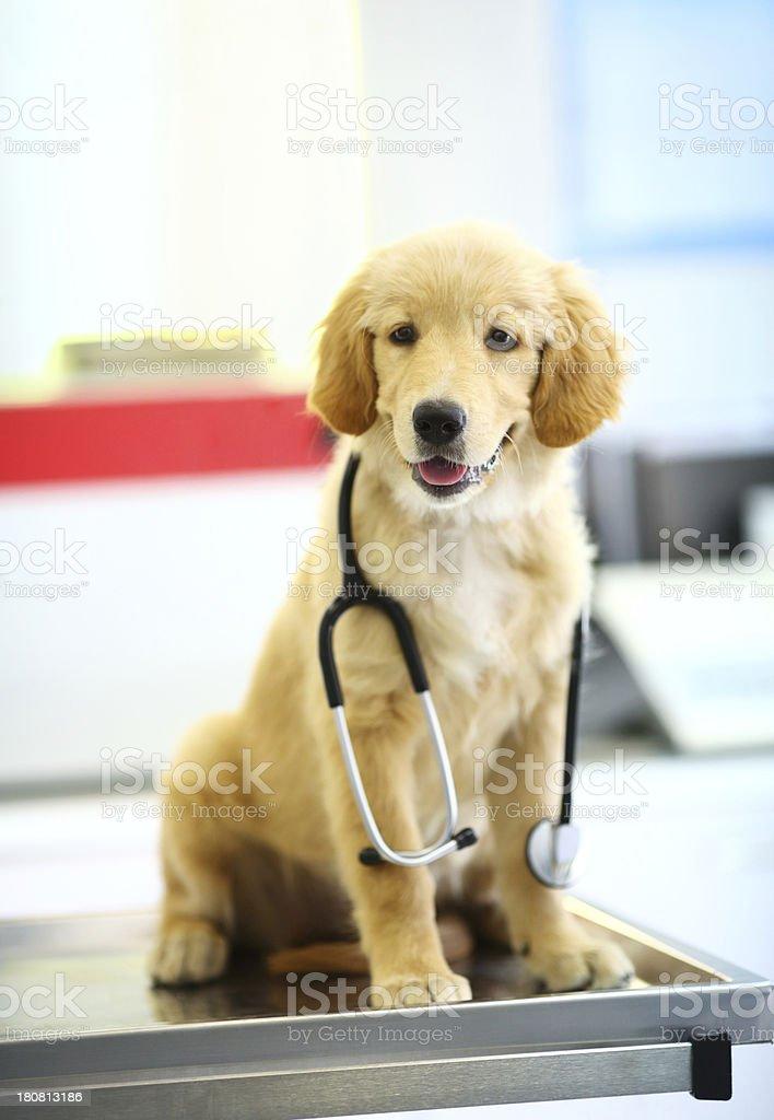 Golden retriever puppy at vet's office. royalty-free stock photo