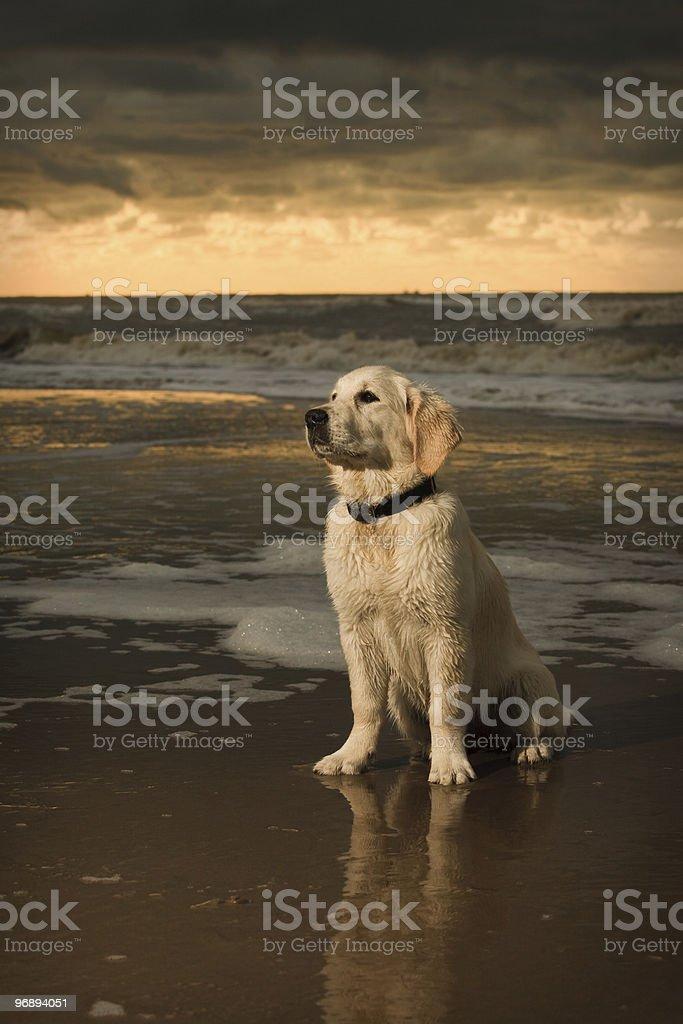 Golden Retriever puppy beach portrait royalty-free stock photo