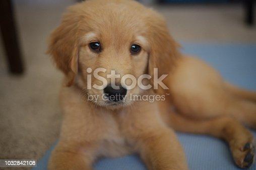 Golden Retriever Puppy Closeup Laying down
