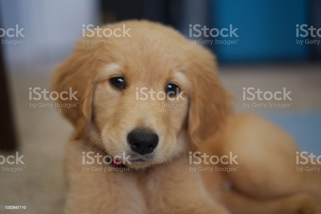Golden Retriever Puppy Cute Puppy Stock Photo Download Image Now Istock
