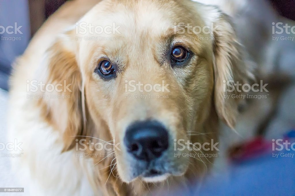 Golden Retriever Puppy Dog Face Eyes Stock Photo More Pictures Of