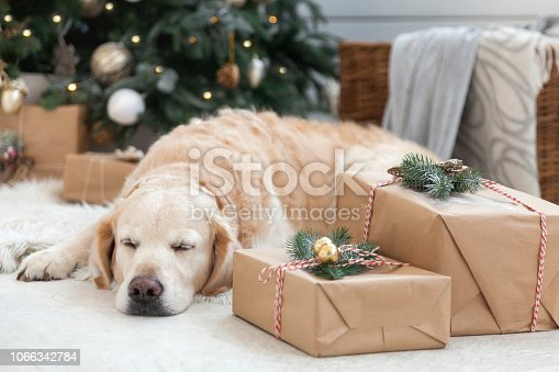 istock Golden retriever puppy dog nap on white artificial fur coat near Christmas tree with decoration, balls, lights and presents in boxes. Pets friendly  scandinavian style hotel or home room. 1066342784